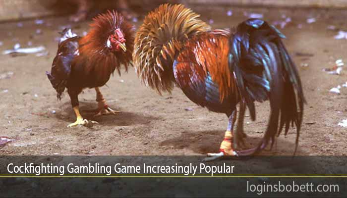 Cockfighting Gambling Game Increasingly Popular